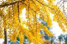 植于唐代已逾千年!浙江最古老的银杏树藏在瑞安山间