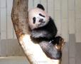 """""""摇号""""看熊猫宝宝"""