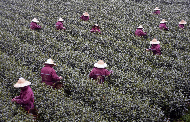 杭州西湖龙井春茶开始大面积采摘