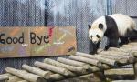 最后看一次大熊猫