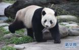 """日政府请求:再借几只象征中日关系回暖的""""明星""""大熊猫"""