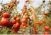 防癌养生吃番茄