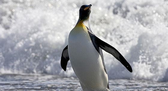 """企鹅家族中的""""大个头"""" 帝企鹅晃头晃脑超可爱"""
