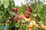 河北乐亭:鲜桃种植助力乡村振兴