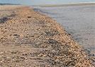 英国:海星侵占海滩
