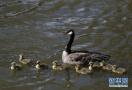 黑雁首次現身洛陽黃河濕地 系河南首次觀測到