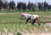 洛阳吉利区黄河湿地试种海水稻