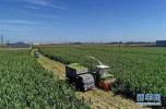 河北省将重点建设4个鲜食玉米主产区