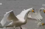 河南三门峡 今日立冬 黄河湿地 越冬天鹅已近6000只