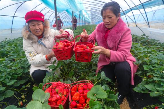 河南光山:種植草莓走上脫貧致富路