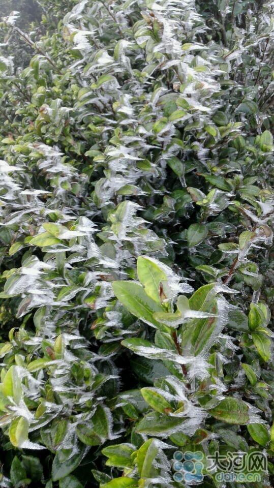 信阳茶叶现冰挂现象 小小树叶变成圆柱体