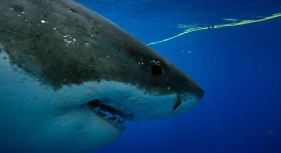 核心提示:据英国《每日邮报》1月20日报道,在墨西哥的瓜达卢佩岛海域,摄影师艾尔克施佩尔克(Elke Specker)用金枪鱼做诱饵,拍摄到大白鲨跃出海面猛烈撕咬鱼饵的瞬间,场面十分震撼。   据英国《每日邮报》1月20日报道,在墨西哥的瓜达卢佩岛海域,摄影师艾尔克施佩尔克(Elke Specker)用金枪鱼做诱饵,拍摄到大白鲨跃出海面猛烈撕咬鱼饵的瞬间,场面十分震撼。 视频中,艾尔克将系在绳上还流着血的金枪鱼投放在水下,成功引来一条约5米长的雄性大白鲨。身在安全铁笼中的她牵着那根绳,将鲨鱼引向摄像机可