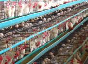 蛋鸡产蛋期如何正确的注射油苗