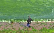 青岛:被绿藻吞噬的海岸