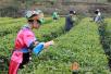 春茶抢鲜上市 网红美女直播卖湘西黄金茶