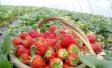 亲子采摘草莓 嘴角溢满香甜