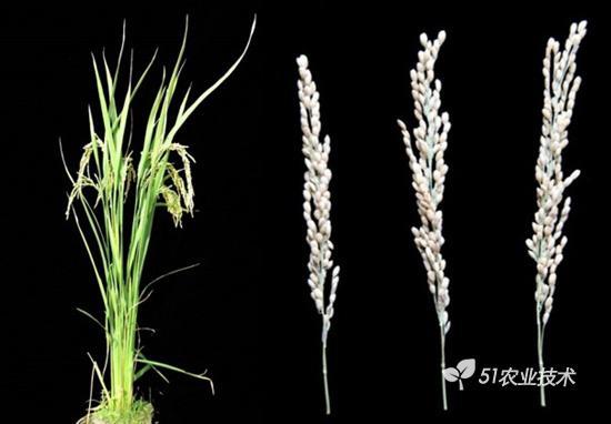 晚粳稻核心种质测21的创制与新品种定向培育应用