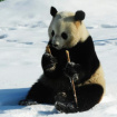 高寒熊猫馆