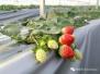 2017溧水草莓文化节周六开幕 千亩草莓吃货天堂