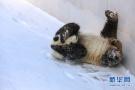 东北的大熊猫吃啥?
