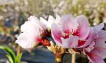 丹东东港有个村的桃花竟然反季盛开