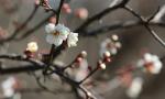 梅花开 春意浓
