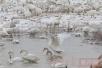 河南三门峡:美丽天鹅风雪中翩翩起舞