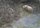 陕西又发现野生熊猫