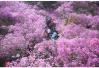 各类花海刷屏朋友圈 青岛成国内热门赏花游目的地