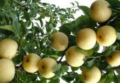 南阳黄金梨种植面积逾6万亩 有机规模种植实现抱团发展