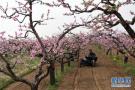 青岛莱西第二届桃花节昨开幕 赏花之余还能看民俗