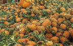 徐闻县:菠萝的海