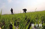 河北培育的6个品种小麦入选绿色小麦品种评选!