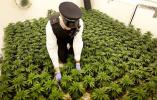 震惊!调查估算日本130万人有吸食大麻经历