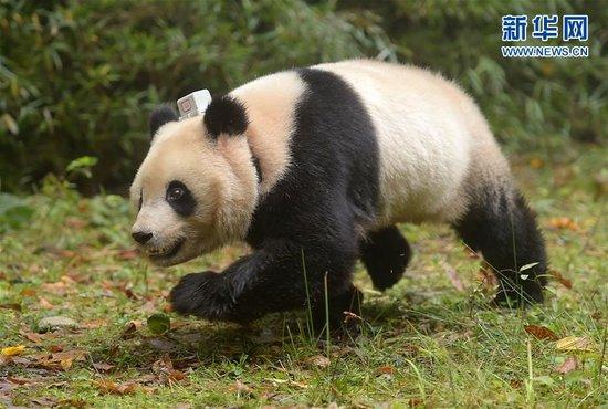 北京赛车赌单双诀窍:大熊猫伟伟在武汉动物园遭虐待 将被送回四川休养