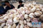 河南杞县大蒜1.5元每斤 建议:大蒜期货上市