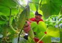 河北灤州:規模化發展設施蔬菜種植促增收