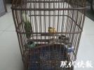 不識貨!男子偷鳥后換籠 不料鳥籠值6000多元