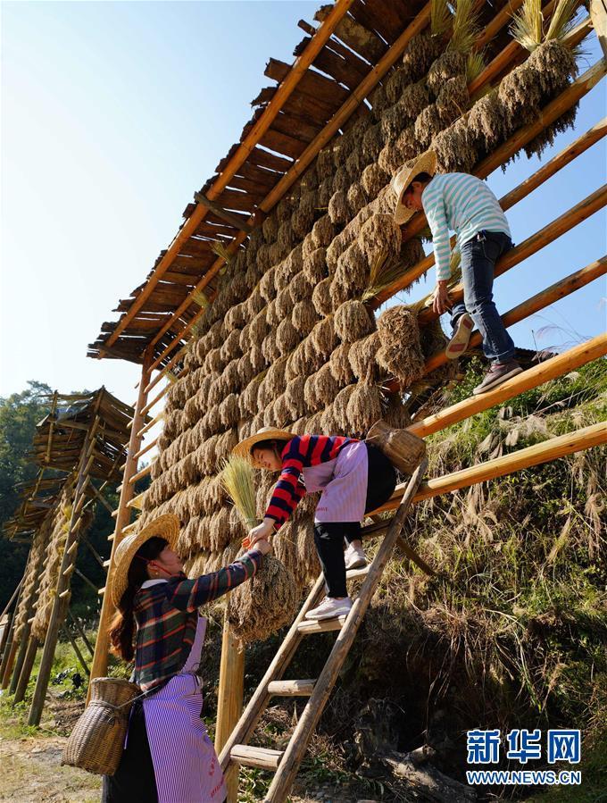 10月29日,在广西龙胜各族自治县乐江乡地灵村村民在晾晒禾把。  新华社发(黄勇丹 摄)