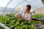 河北青县:瓜菜产业铺就乡村振兴路