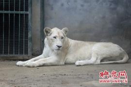 亚博靠谱么8去哪玩?快来郑州市动物园看白狮 当天生日还能免费入园