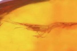 """中国科学家发现""""琥珀虾""""化石标本距今2200万年"""