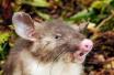长着猪鼻子的老鼠