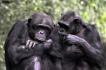 猿类也会揣测他人心思?