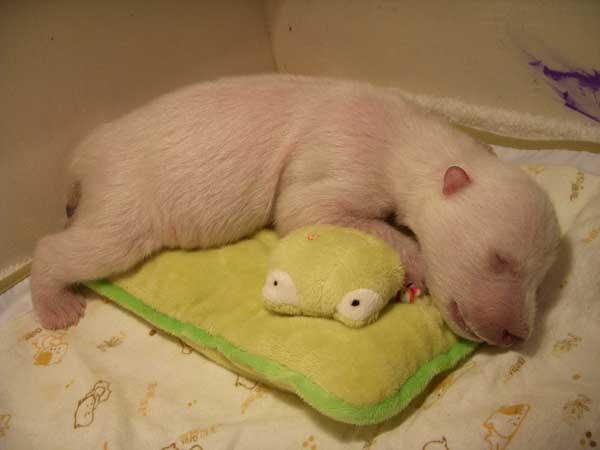 """大连森林动物园首次人工育幼的北极熊""""梦龙""""七周岁啦"""