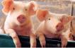 市场供需偏紧生猪均价持续上涨 养殖业步入高景气周期