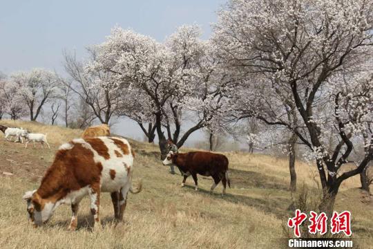 沈阳沈北新区七星山呈现桃花漫山盛开、牛儿在山坡吃草的美丽景色。 沈北 摄