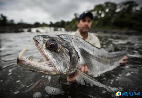 即将灭绝的巨型鱼类