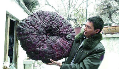 河南农户根雕艺人挖巨型灵芝 堪比雨伞