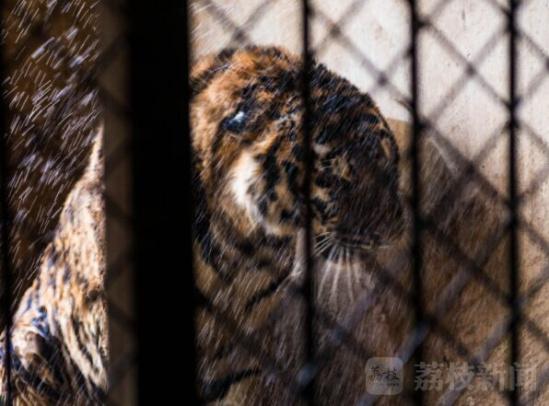 动物园回应水池染黑老虎:已清淤 每天冲澡两次